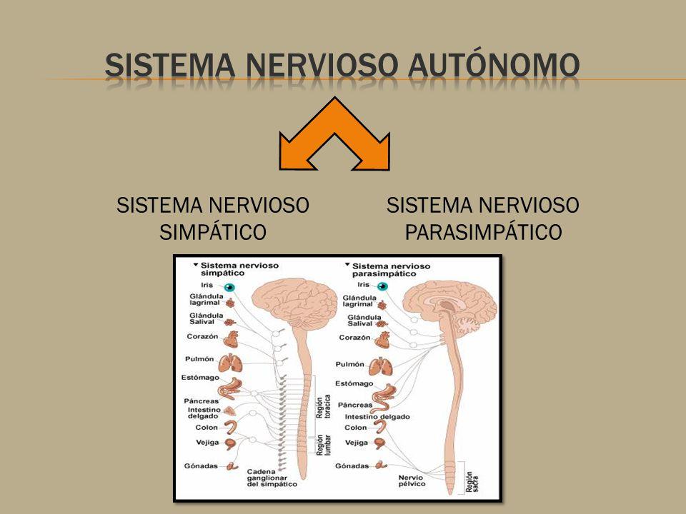 SISTEMA NERVIOSO AUTONOMO RESIDENTE DE ANESTESIOLOGIA - ppt video ...