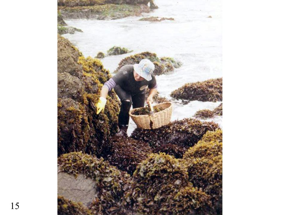 Here we can see a woman collecting mussels
