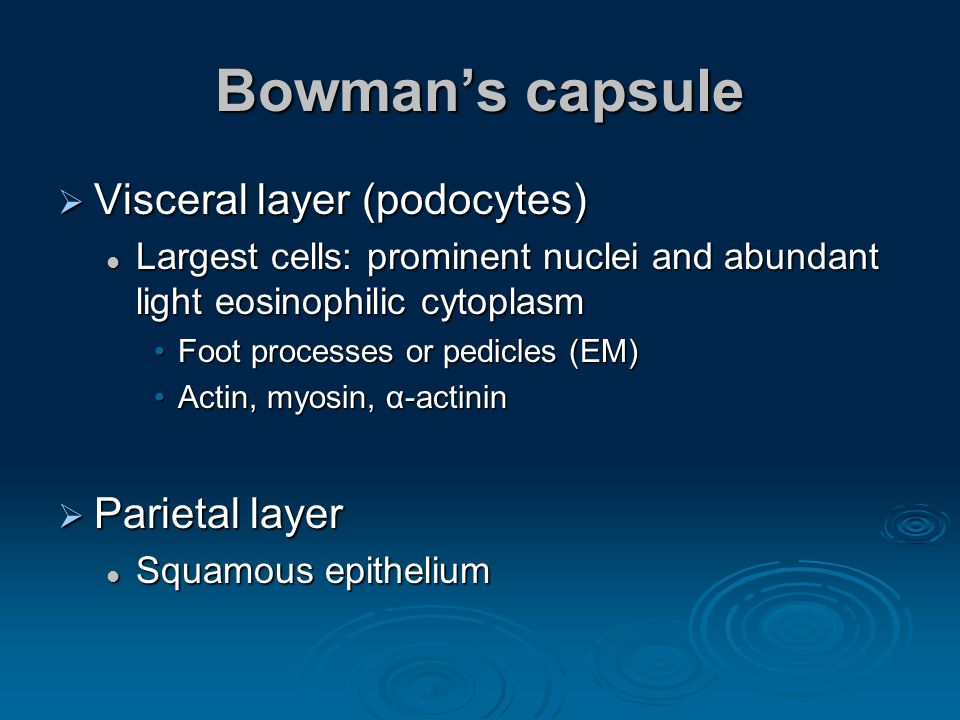 Bowman's capsule Visceral layer (podocytes) Parietal layer