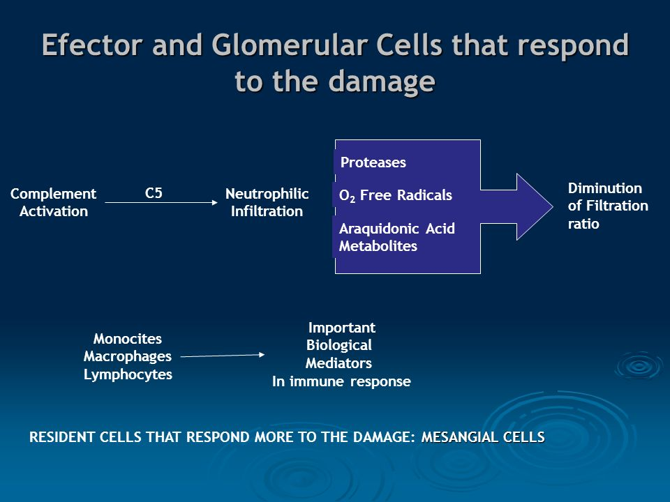 Efector and Glomerular Cells that respond to the damage