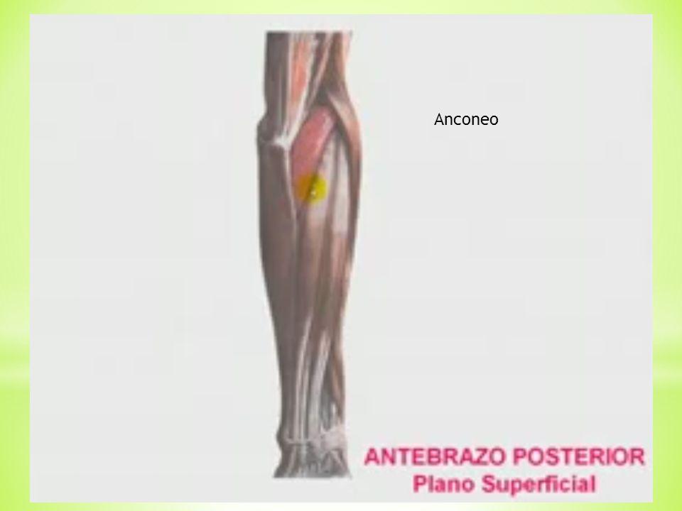 Músculos del antebrazo - ppt descargar