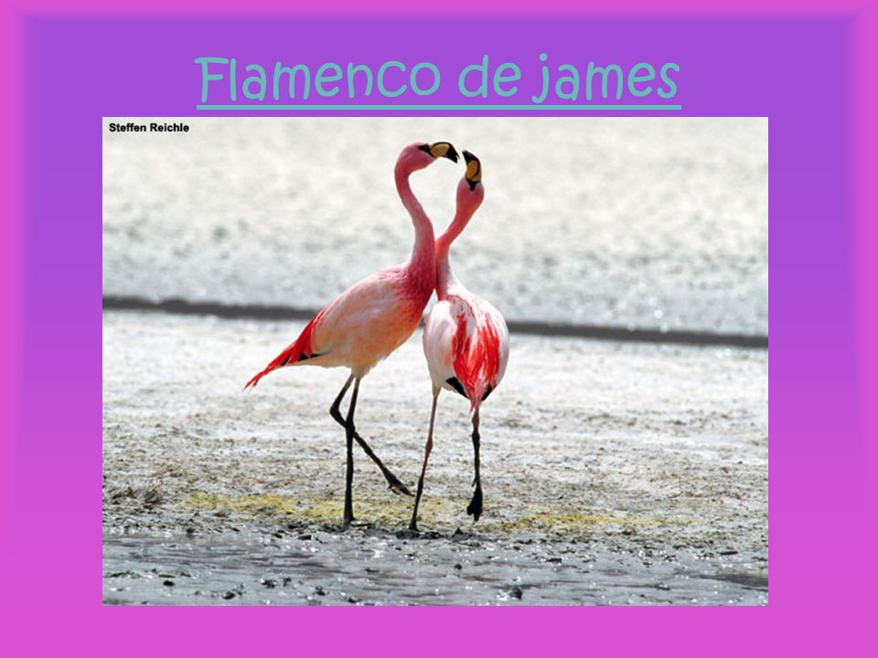 Flamenco de james