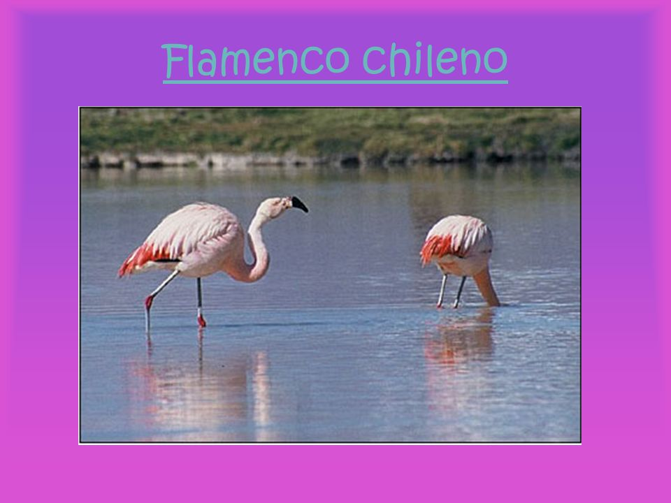 Flamenco chileno