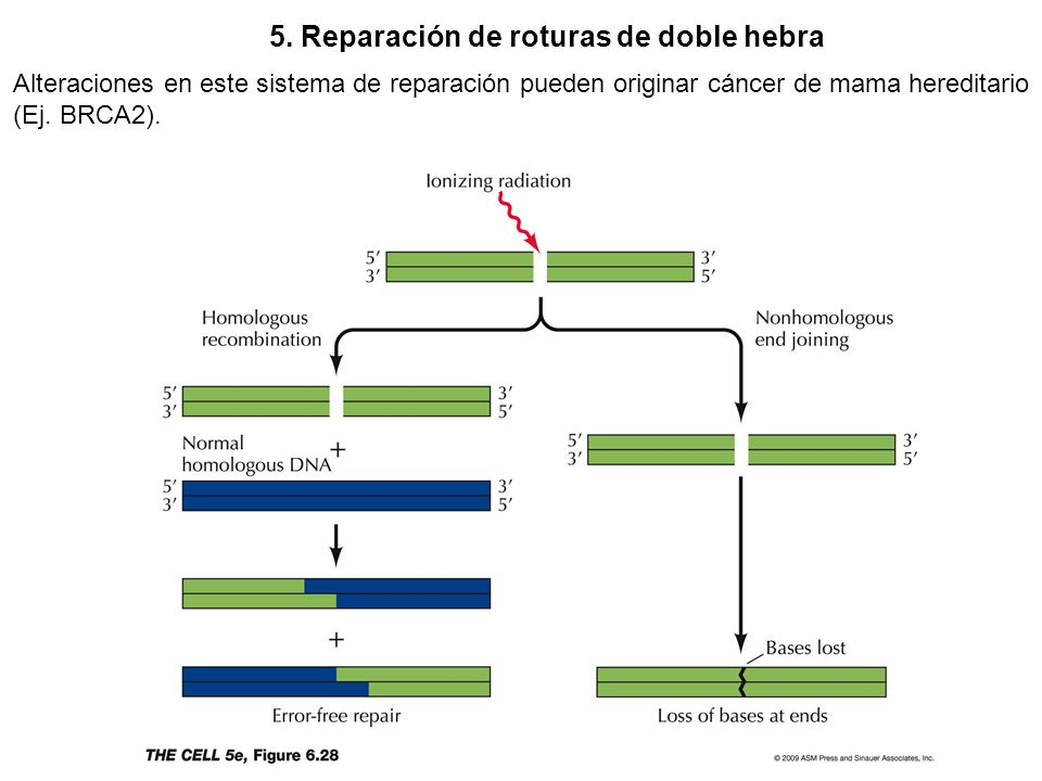 5. Reparación de roturas de doble hebra