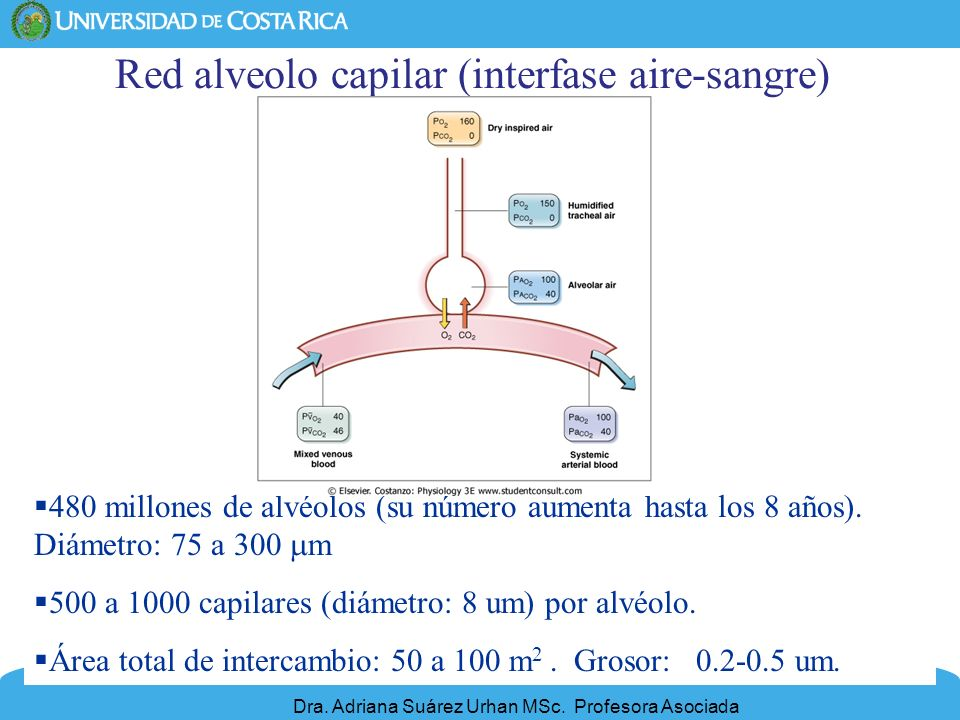 Red alveolo capilar (interfase aire-sangre)