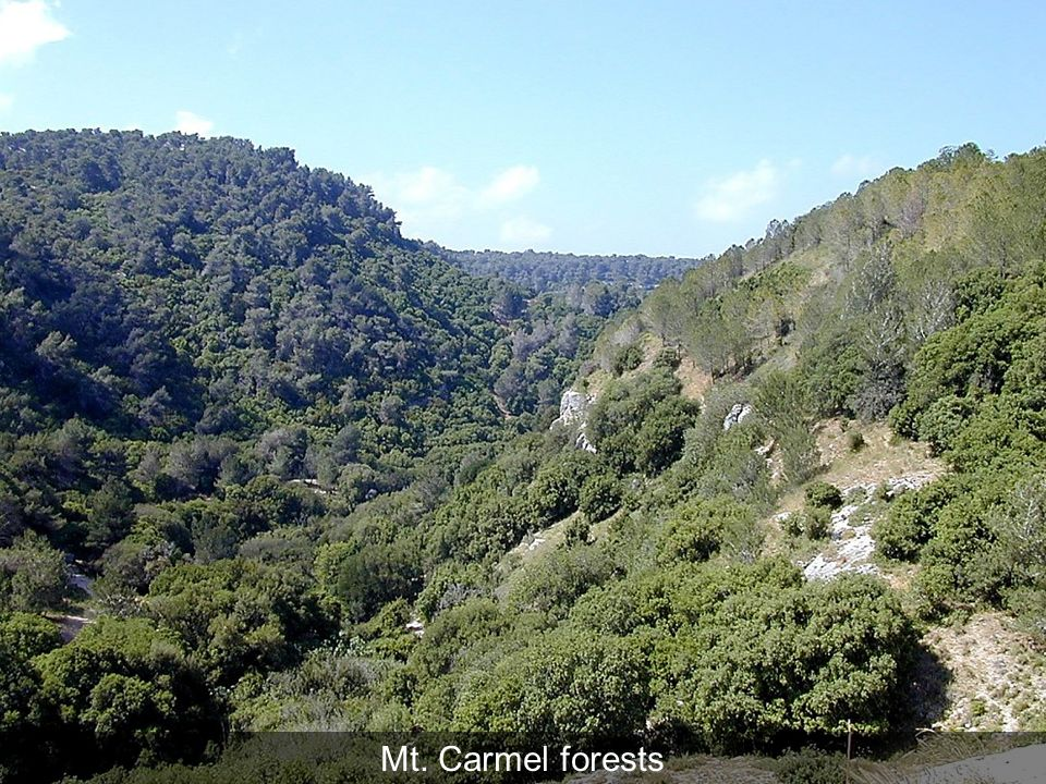 Mt. Carmel forests Mt. Carmel forests