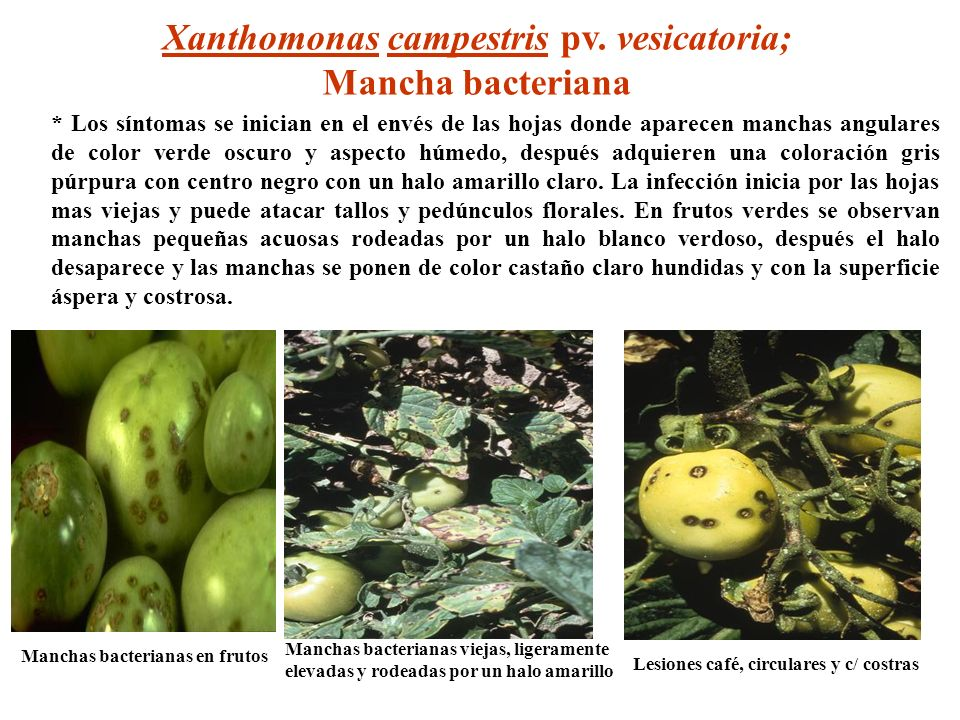Xanthomonas campestris pv. vesicatoria;