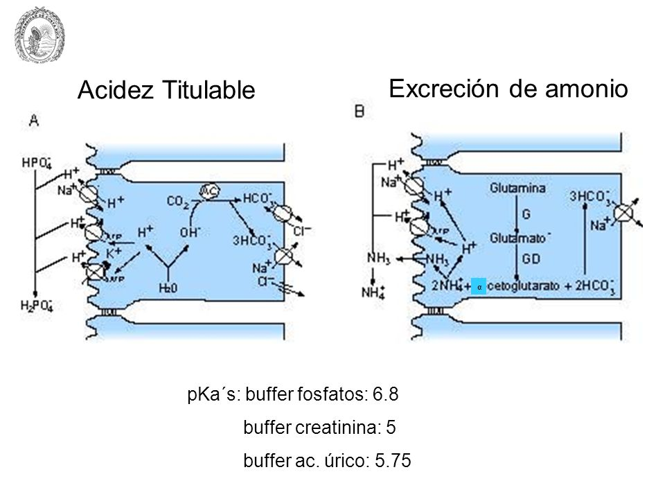 Acidez Titulable Excreción de amonio pKa´s: buffer fosfatos: 6.8