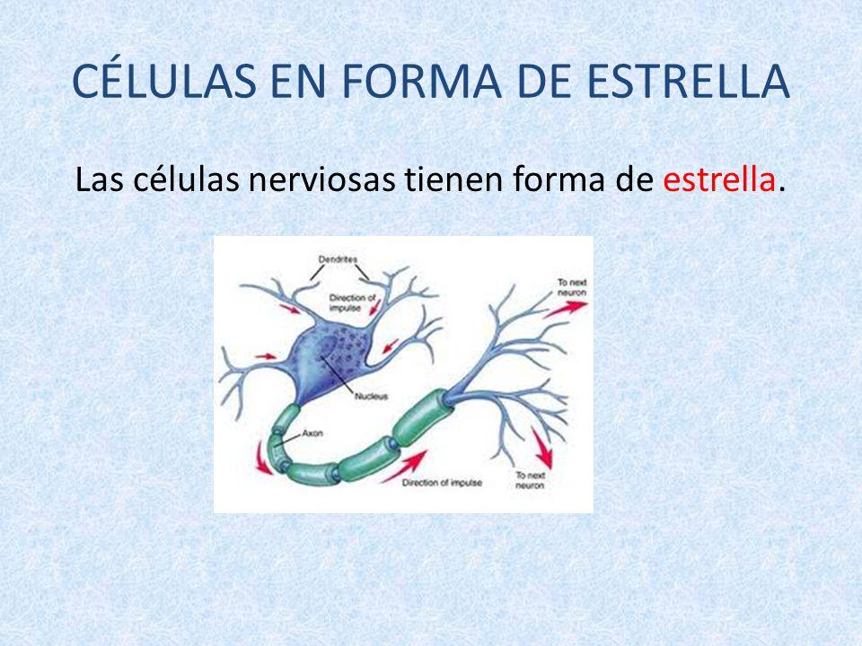 Magnífico Tipo De Células Nerviosas Cresta - Anatomía de Las ...