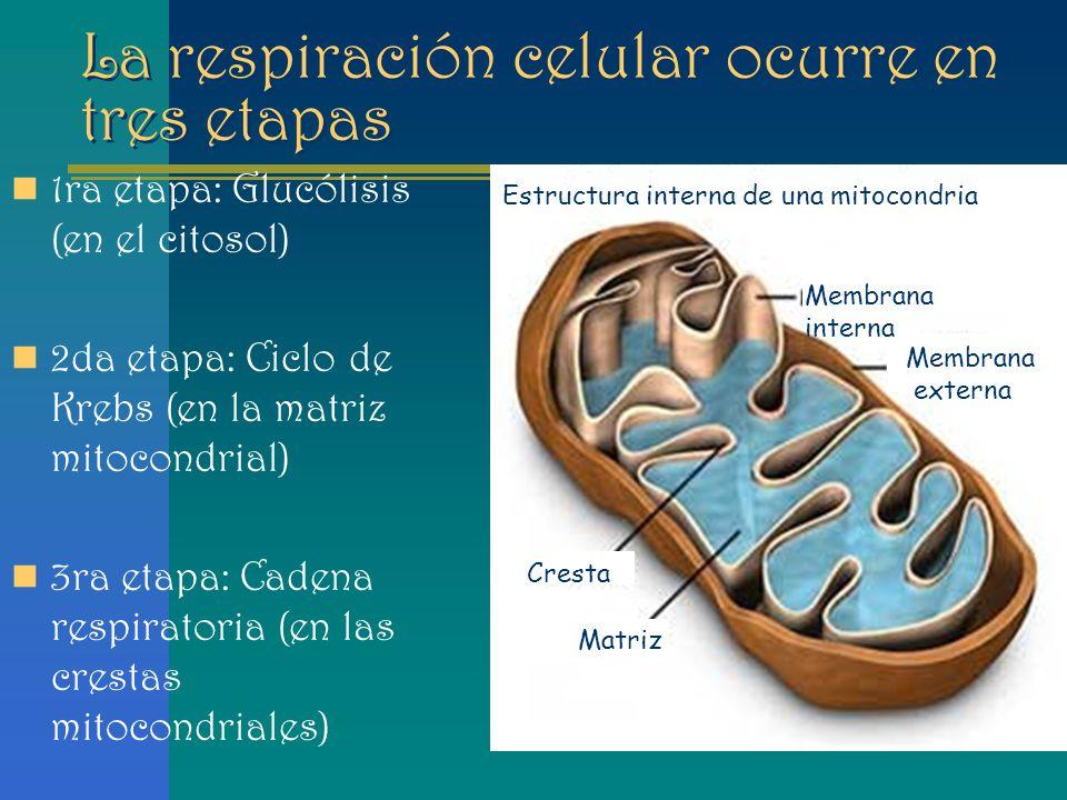 Metabolismo Celular Respiración Celular Glucólisis Ciclo