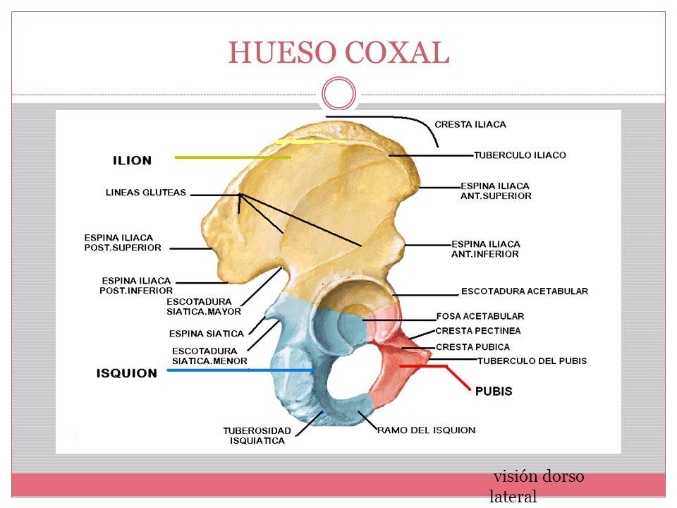 Moderno Anatomía Hueso Ilíaco Viñeta - Imágenes de Anatomía Humana ...