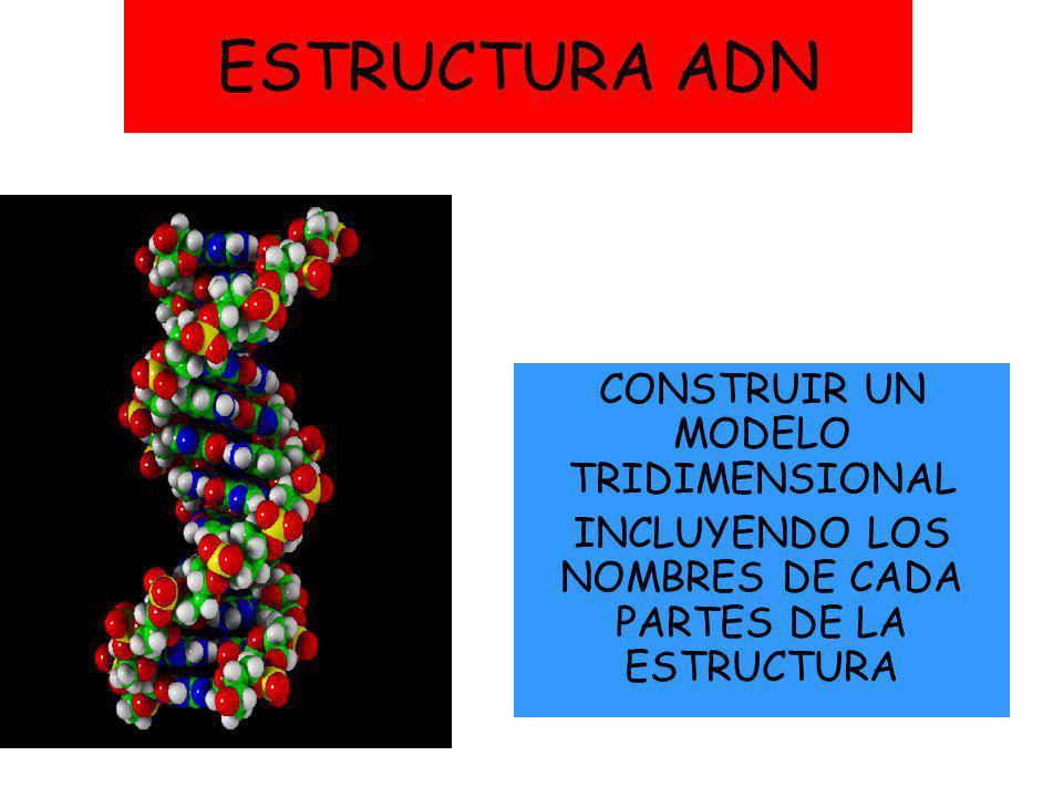 Estructura Adn Construir Un Modelo Tridimensional Ppt