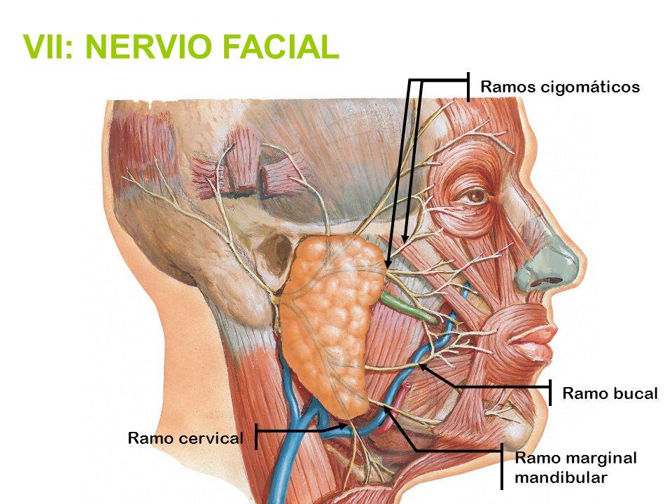 Troncos nerviosos que se originan en órganos de los sentidos y ...