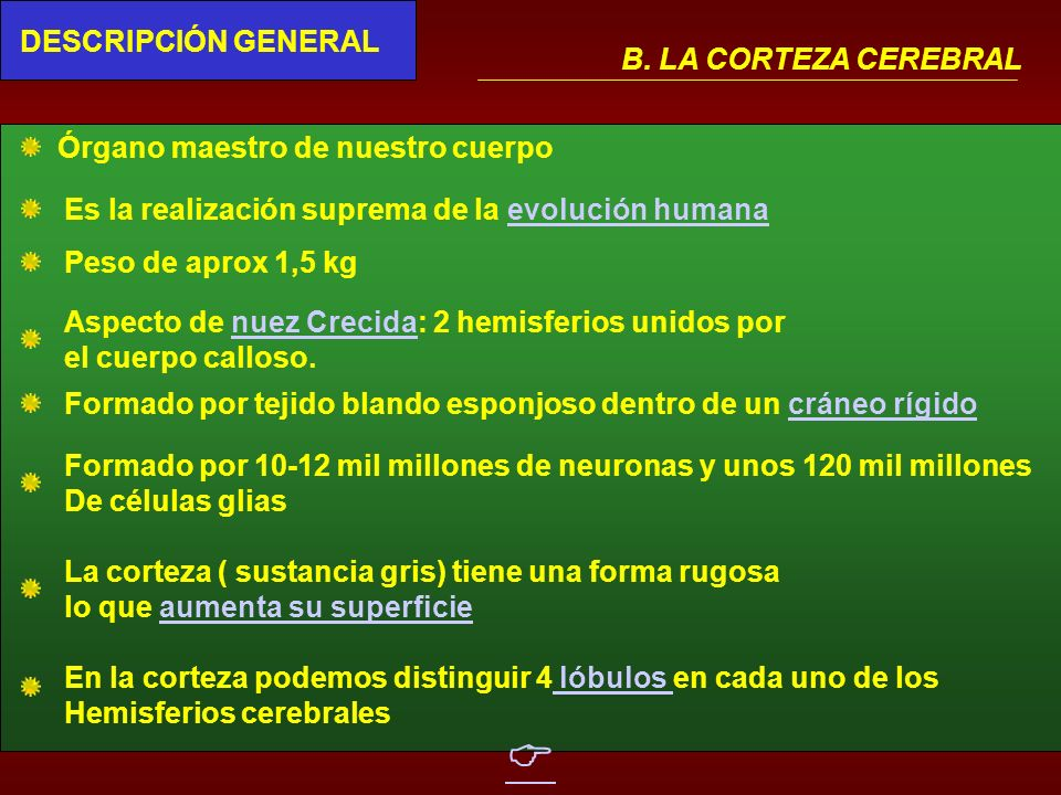  DESCRIPCIÓN GENERAL B. LA CORTEZA CEREBRAL