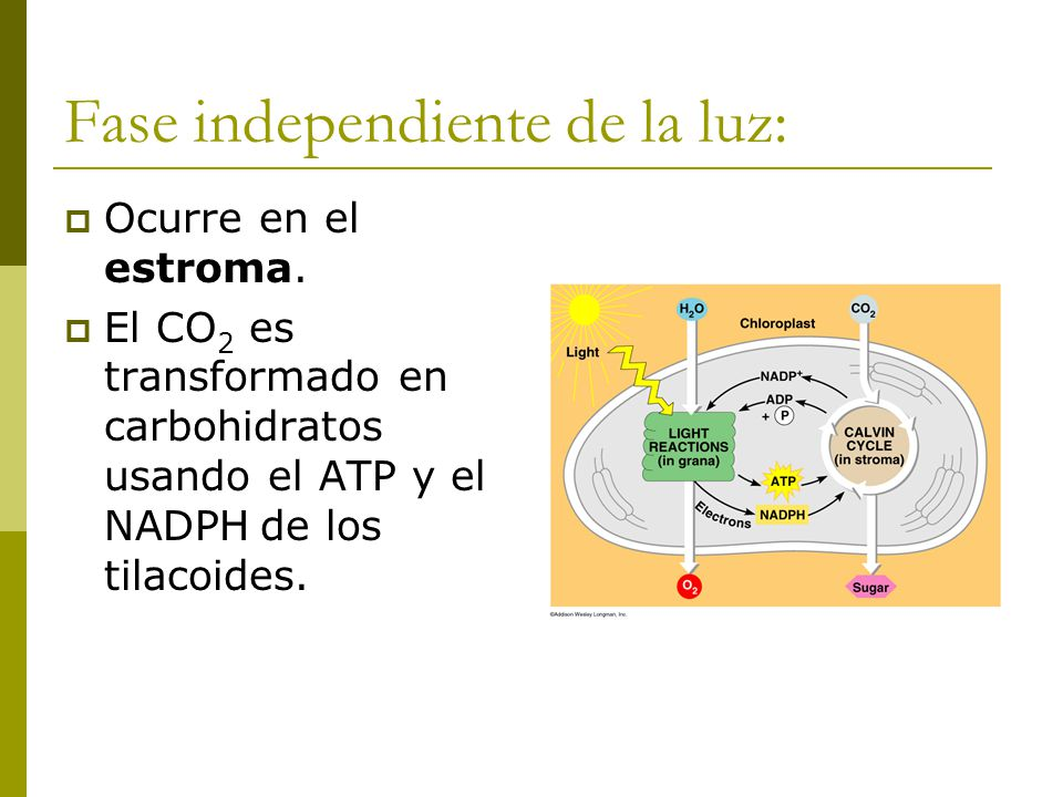 Fase independiente de la luz:
