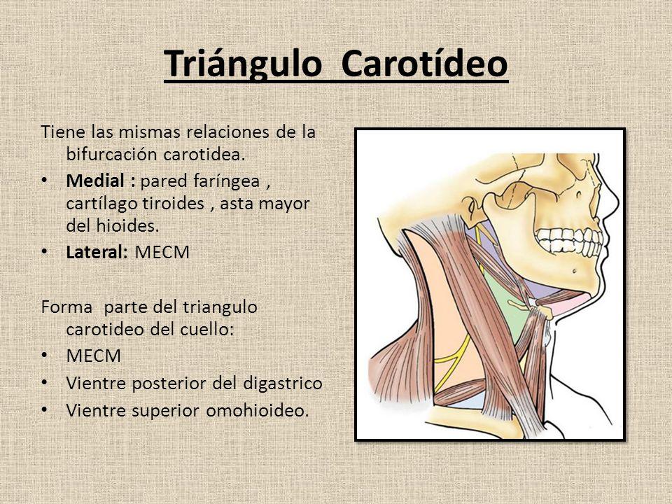 Arteria carotida primitiva – Venas Yugulares - ppt descargar