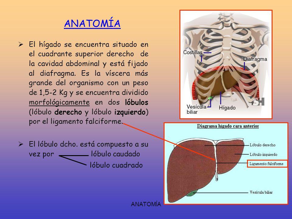 Asombroso Anatomía Y Fisiología De La Vesícula Biliar Molde ...