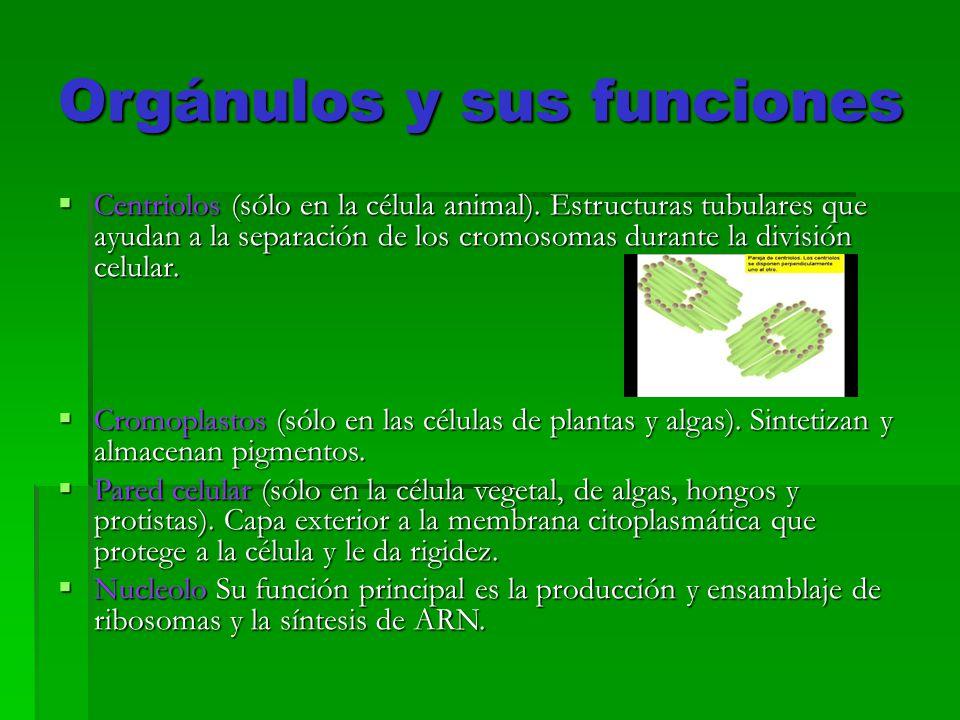 Orgánulos Celulares Objetivos Comprender Como Se