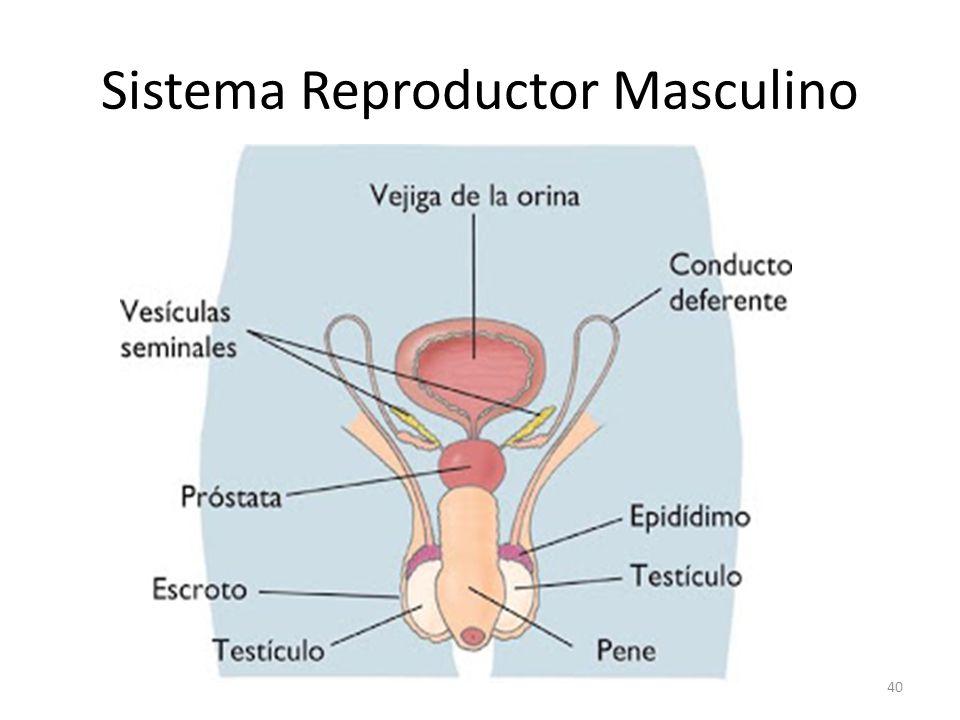 Sistema Reproductor: Femenino y Masculino - ppt video online descargar
