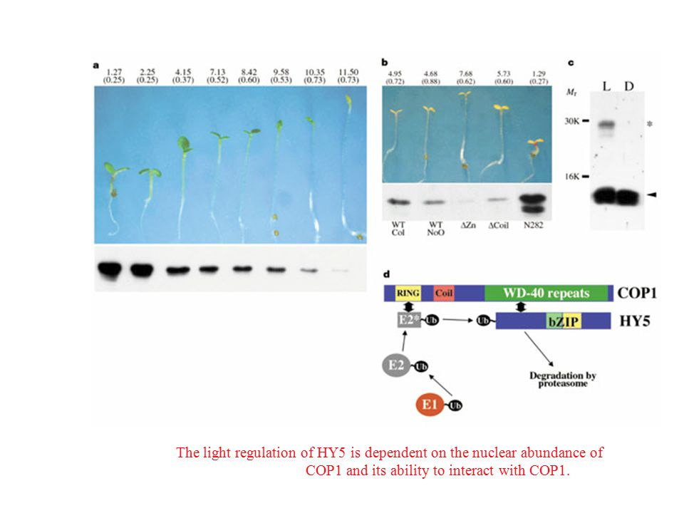 The light regulation of HY5 is dependent on the nuclear abundance of