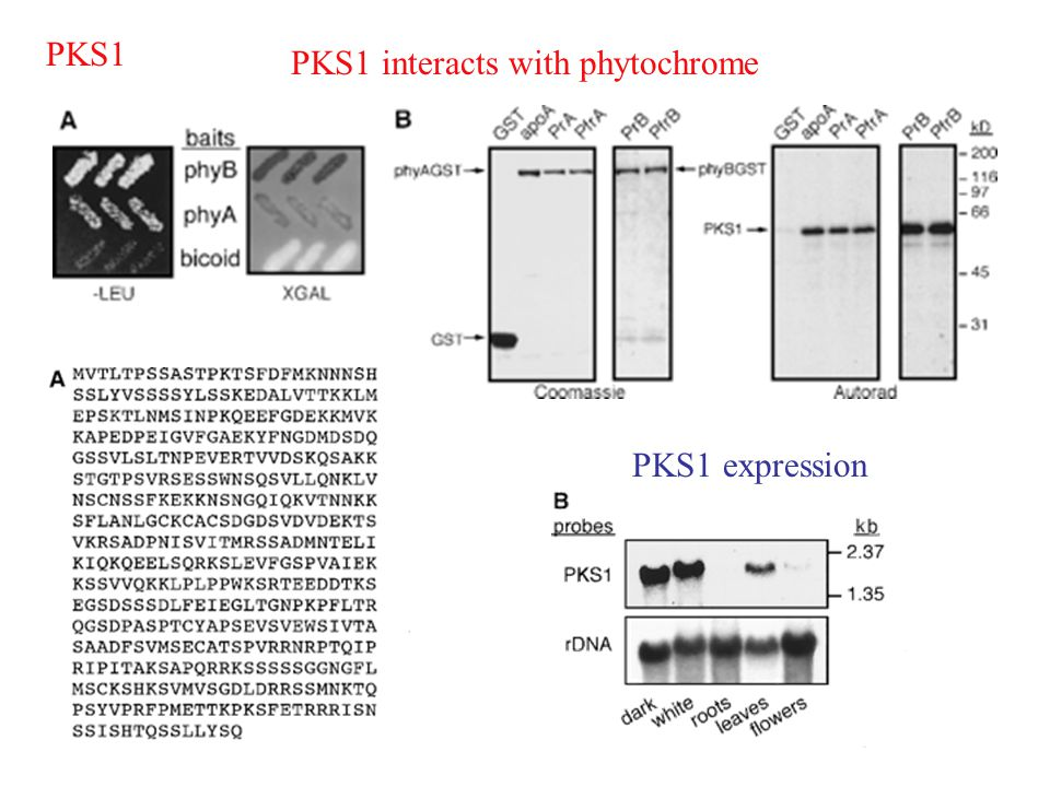 PKS1 PKS1 interacts with phytochrome PKS1 expression