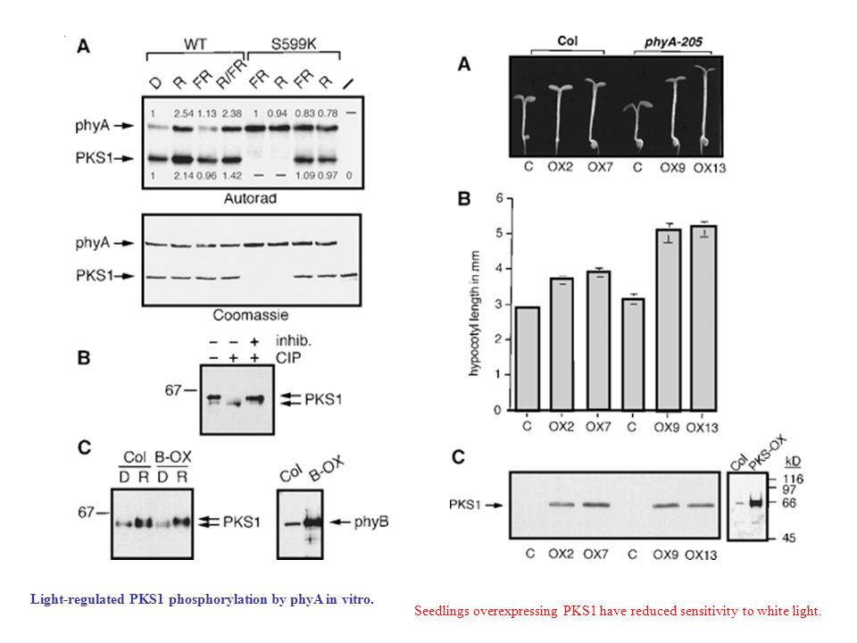 Light-regulated PKS1 phosphorylation by phyA in vitro.