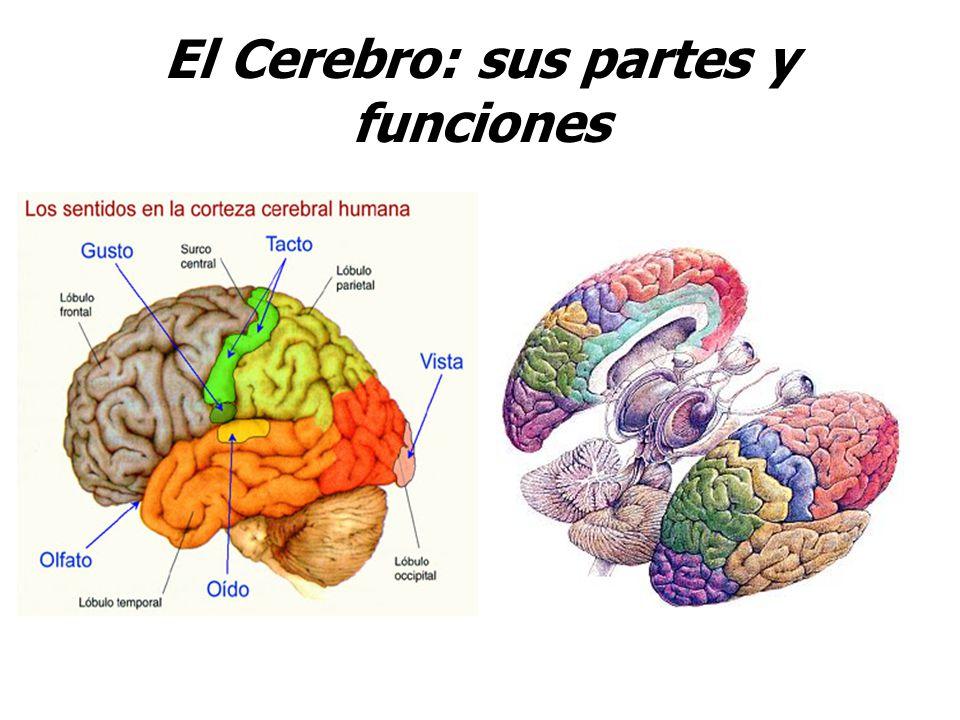 Encantador Partes Del Cerebro Y Sus Funciones Modelo - Anatomía de ...
