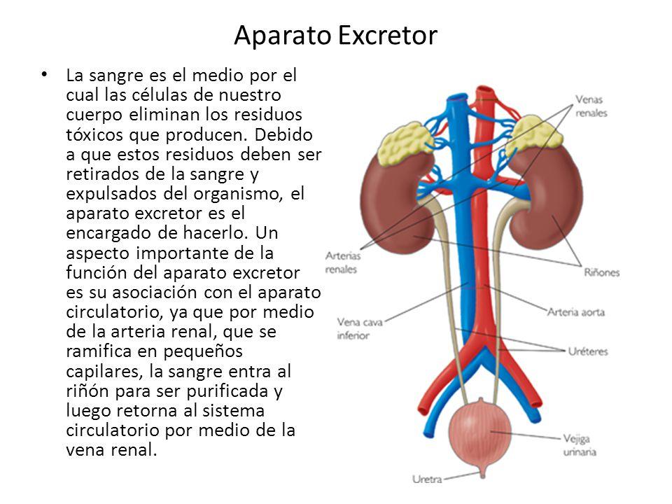 Aparato Excretor La sangre es el medio por el cual las células de ...