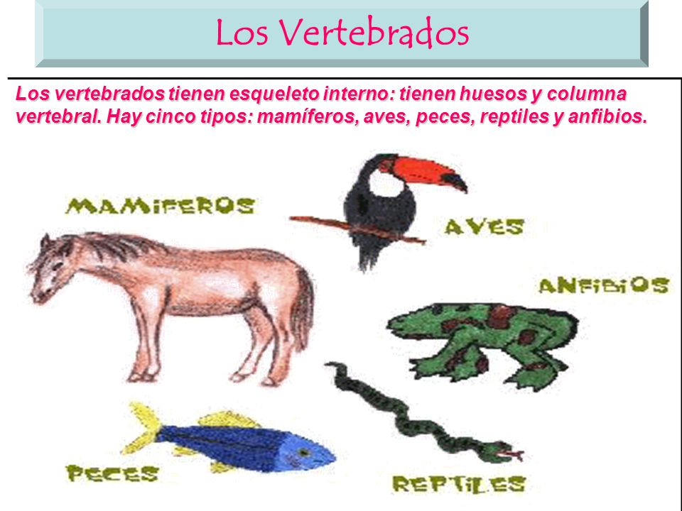Los mamíferos Los mamíferos son animales vertebrados, son vivíparos ...