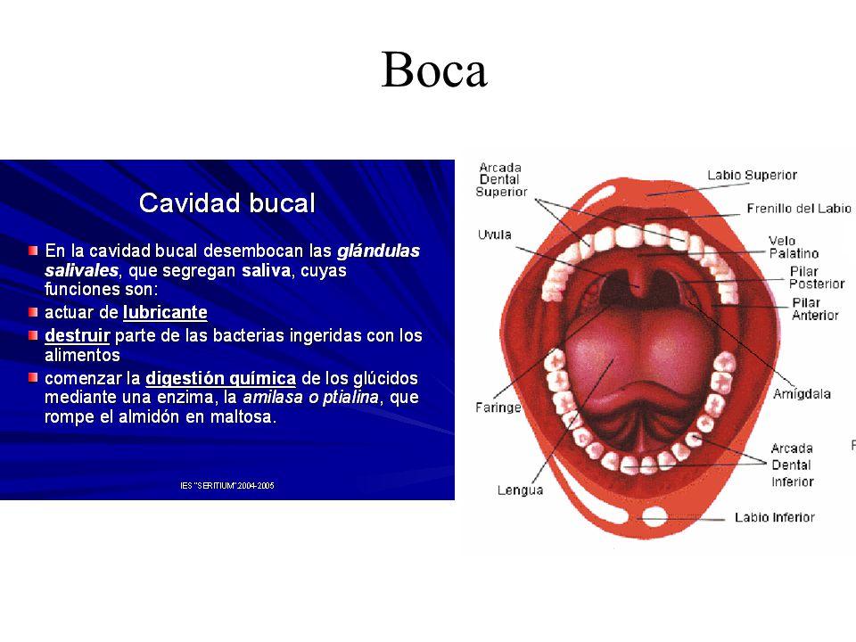 Dorable Techo De La Anatomía De La Boca Imágenes - Imágenes de ...