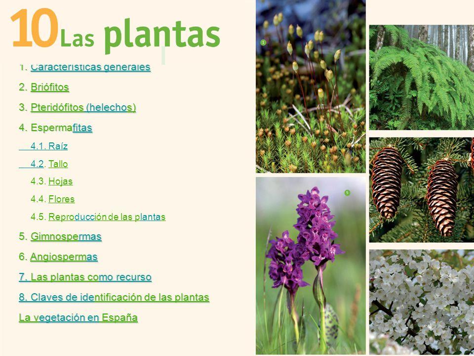 1 caracter sticas generales 2 bri fitos 3 pterid fitos for Planta ornamental helecho nombre cientifico