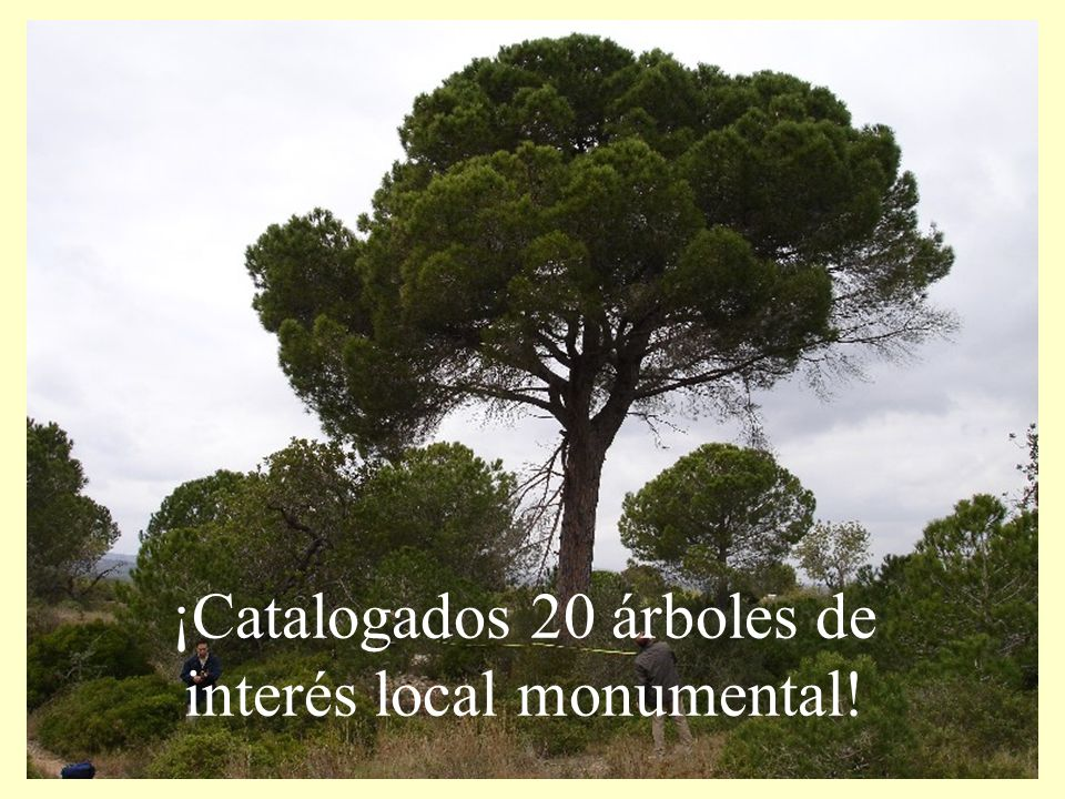 ¡Catalogados 20 árboles de interés local monumental!