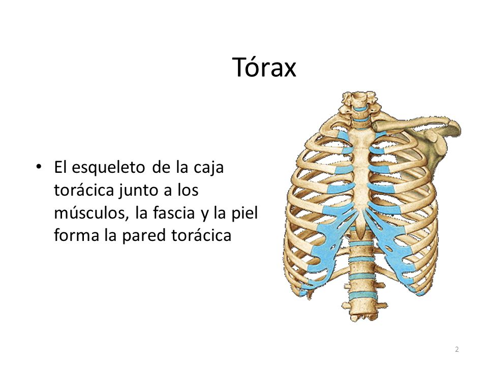 TORAX ABDOMEN PELVIS. - ppt video online descargar