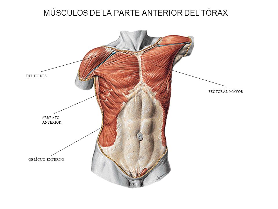 Contemporáneo Tórax Anatomía Muscular Bosquejo - Imágenes de ...