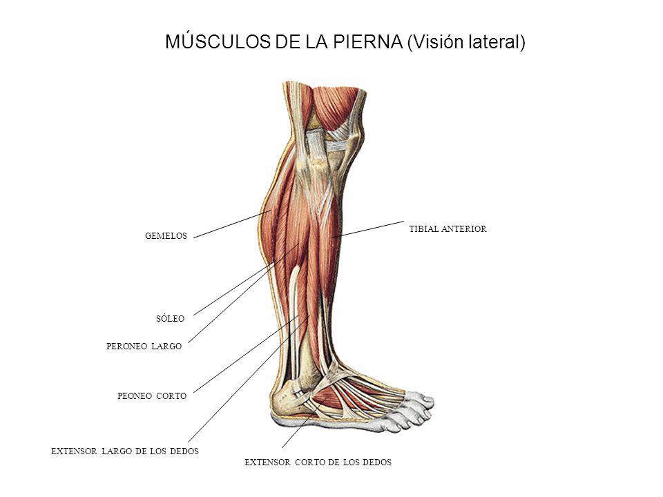 Leg muscles Side view msculos de la pierna vista lateral