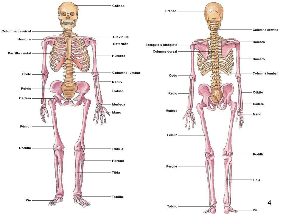 Excepcional Huesos Del Cuerpo Humano Ilustración - Imágenes de ...