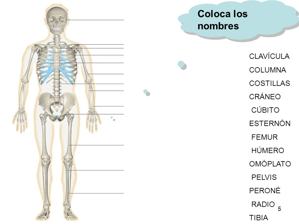 El cuerpo humano está compuesto por 208 huesos articulados, que lo ...