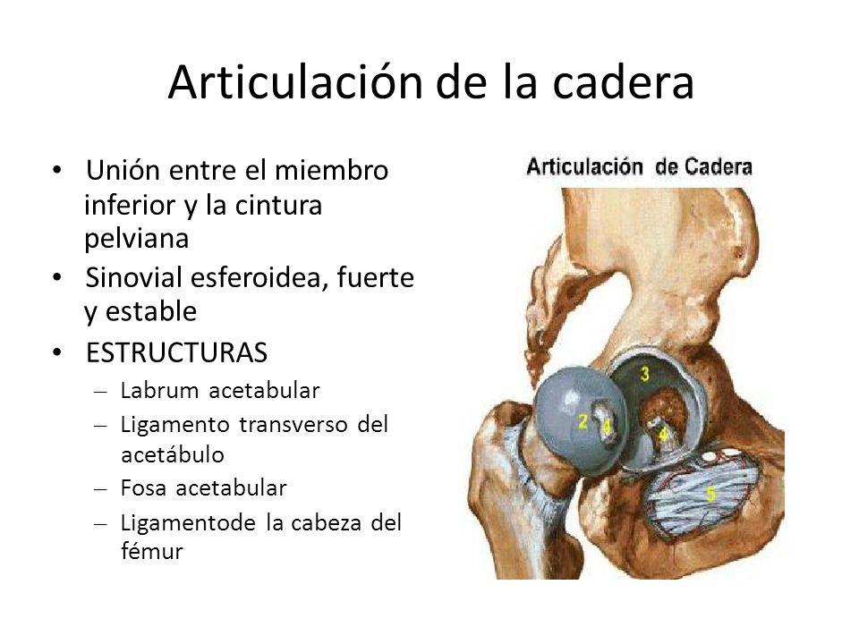 Cintura pélvica CursoIntensivo de Anatomía 2013 Estudiante de ...