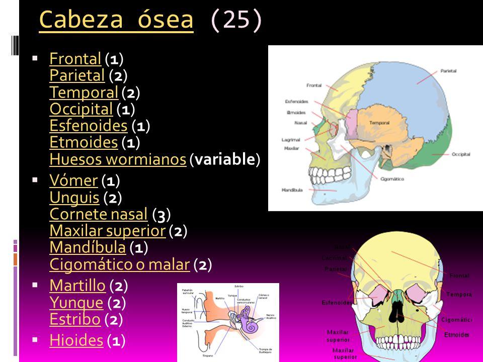 Anexo: Huesos del esqueleto humano - ppt descargar
