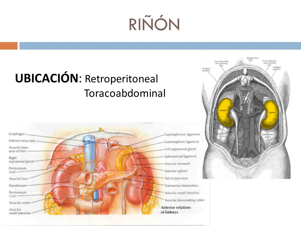 Riñón. - ppt video online descargar