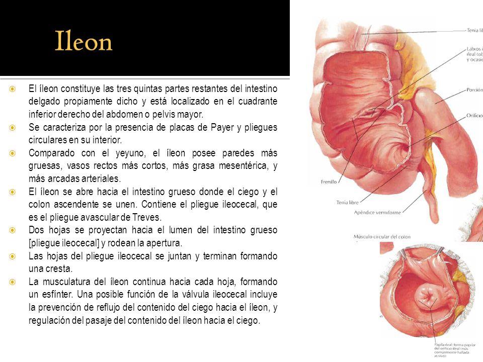 Magnífico Foto íleon Galería - Anatomía de Las Imágenesdel Cuerpo ...
