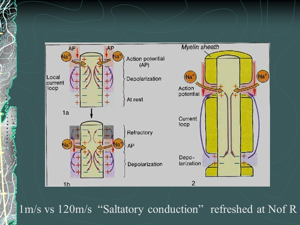 1m/s vs 120m/s Saltatory conduction refreshed at Nof R