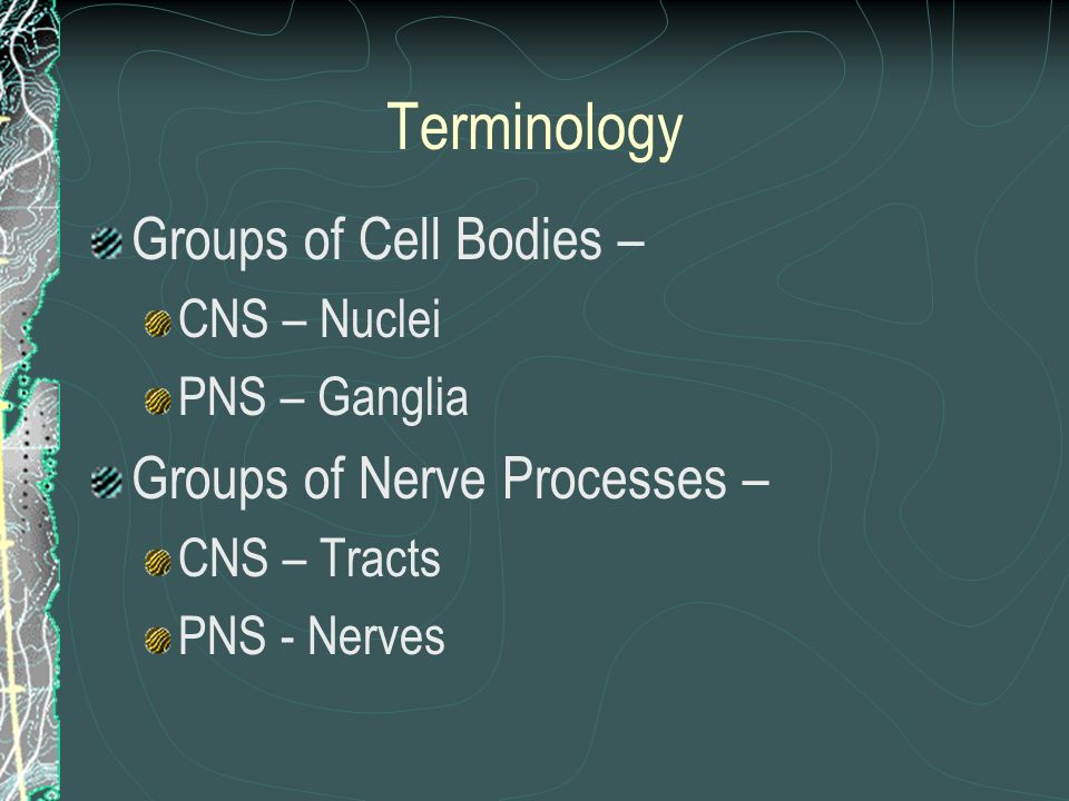Terminology Groups of Cell Bodies – Groups of Nerve Processes –