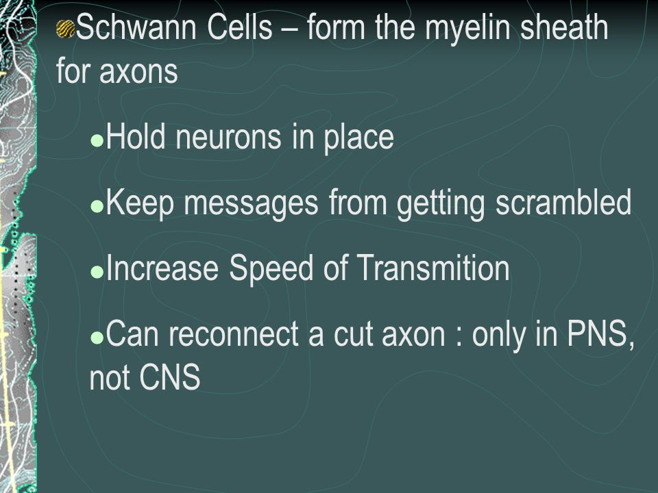 Schwann Cells – form the myelin sheath for axons