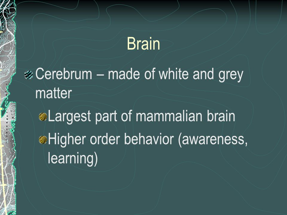 Brain Cerebrum – made of white and grey matter