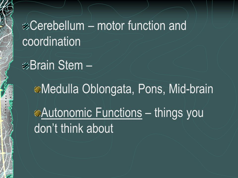 Cerebellum – motor function and coordination