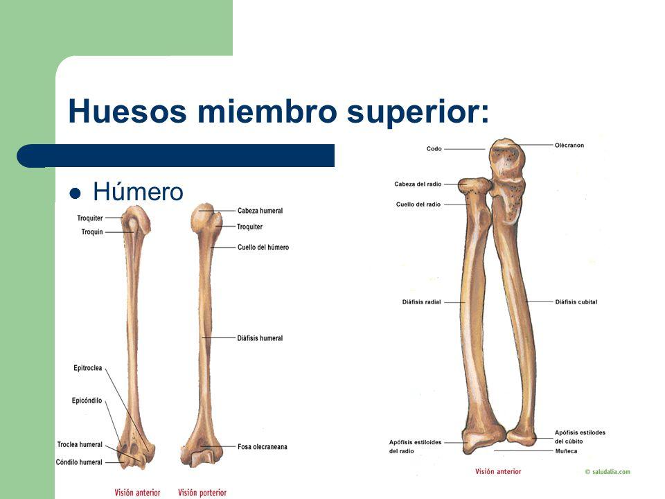 Huesos del tronco. - ppt video online descargar