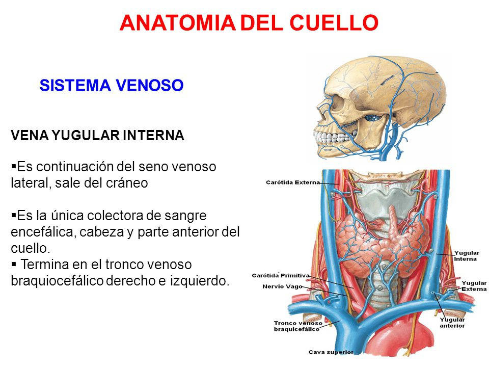 Excepcional Anatomía De La Vena Yugular Externa Bosquejo - Anatomía ...