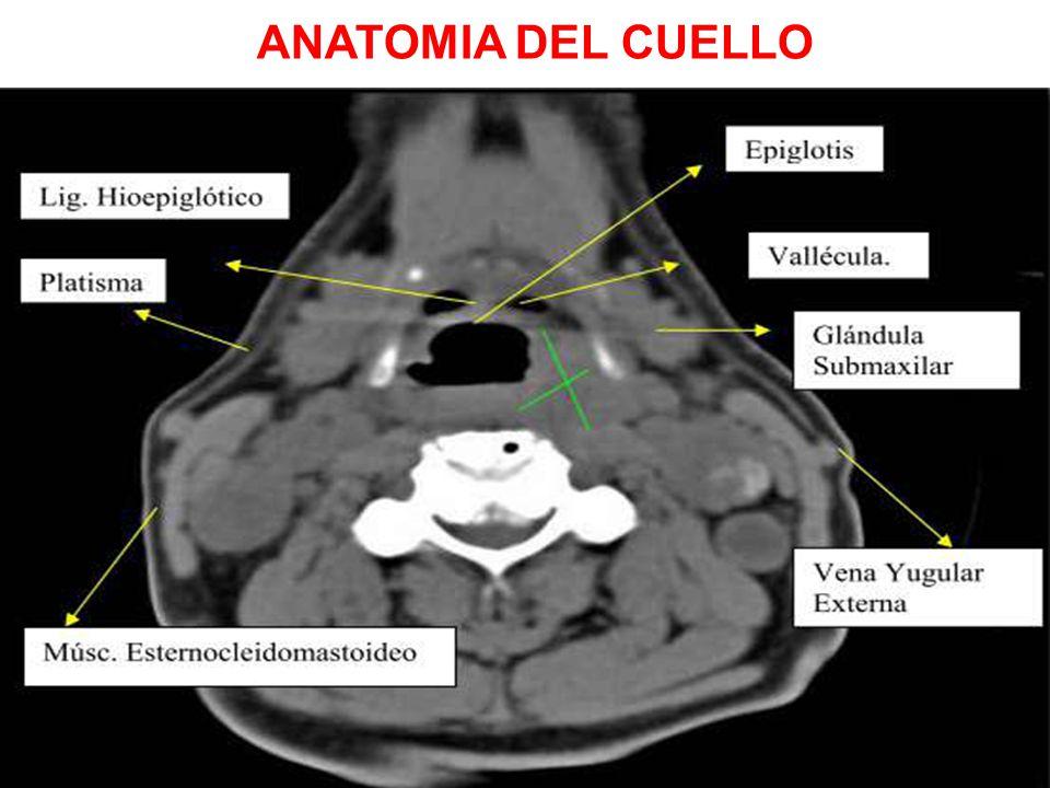 Perfecto Anatomía De Las Glándulas Del Cuello Viñeta - Imágenes de ...