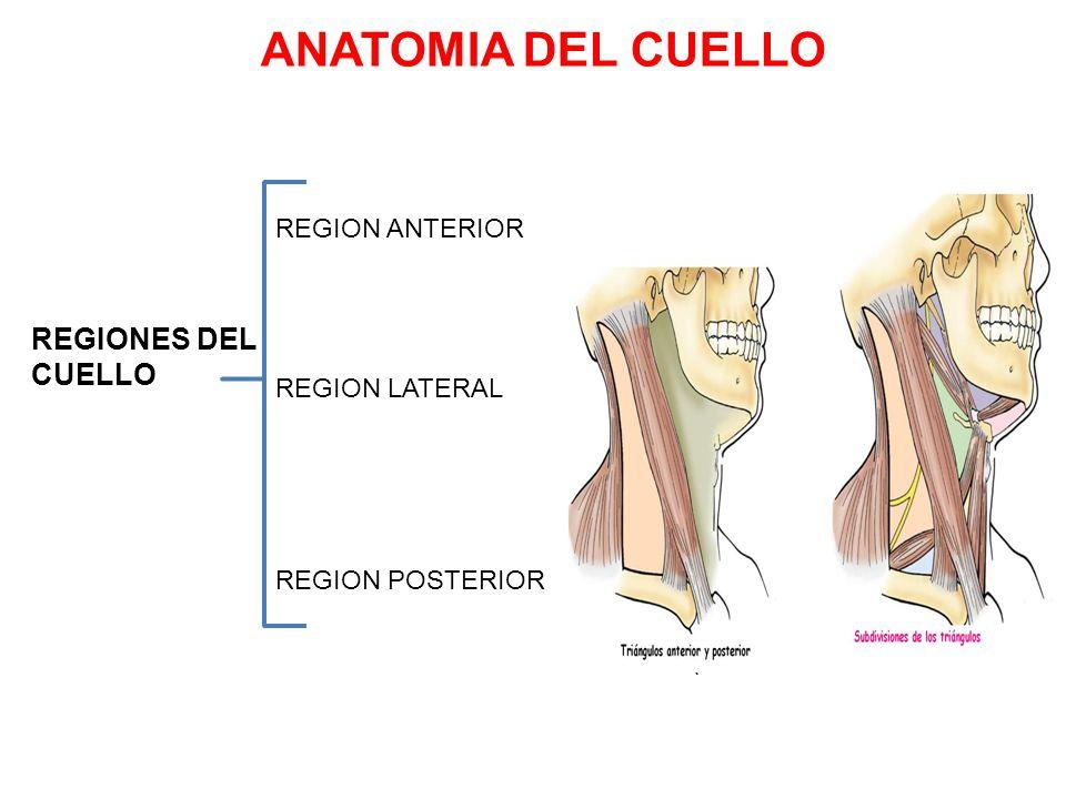 Excelente Definir La Anatomía Regional Friso - Imágenes de Anatomía ...